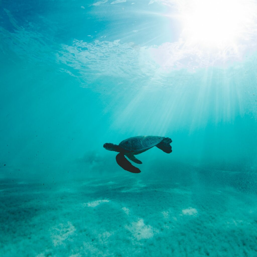 Kona Hawaii private snorkel boat charter and a turtle