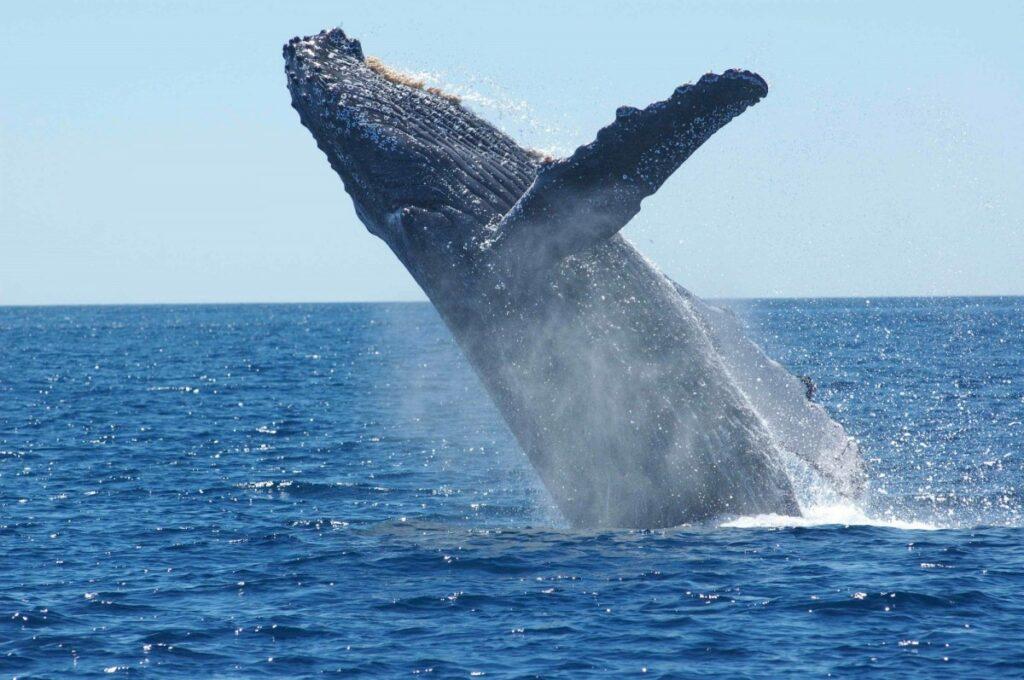 Humpback whale in Kona, Hawaii