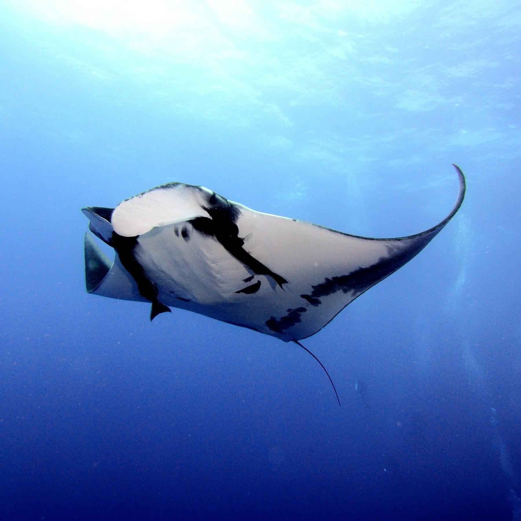 Swim with manta rays in Kona Hawaii